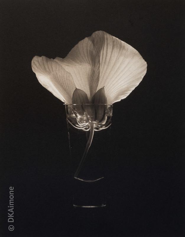 Hibiscus in a Shot Glass