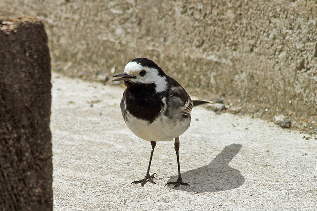 Pied Wagtail Bristol Harbour.