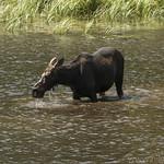 Moose at Moose Ponds