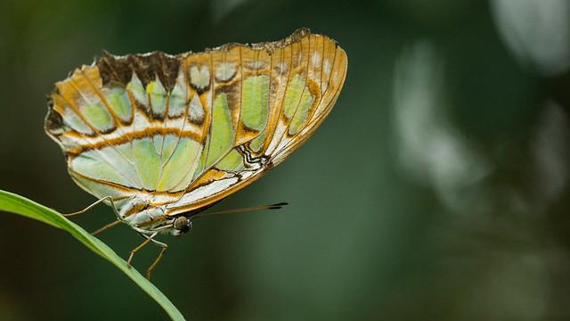 Butterfly-07967