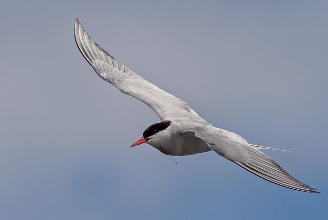 JWL5417  Arctic Tern..