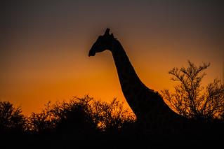 Giraffe | by A. v. Z.