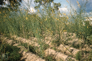 Crotalaria juncea. Yellow sunhemp. Fibre crop. Legume. Minna Rural Education College 1960