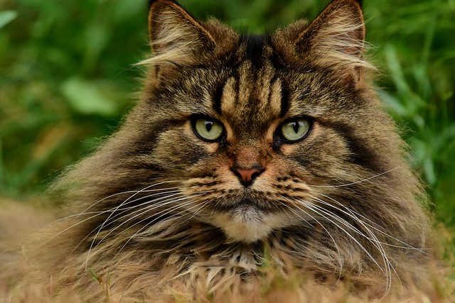 champion maine coon mouser  🏆