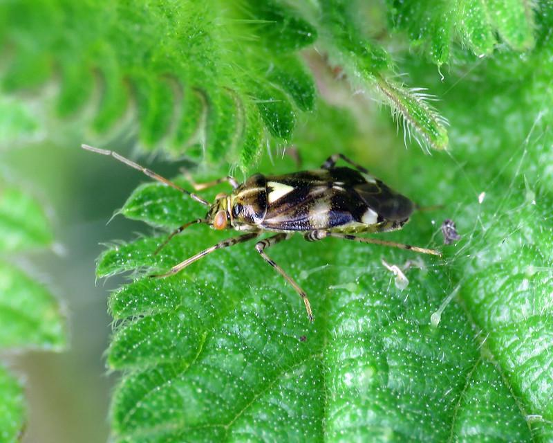 Liocoris tripustulatus
