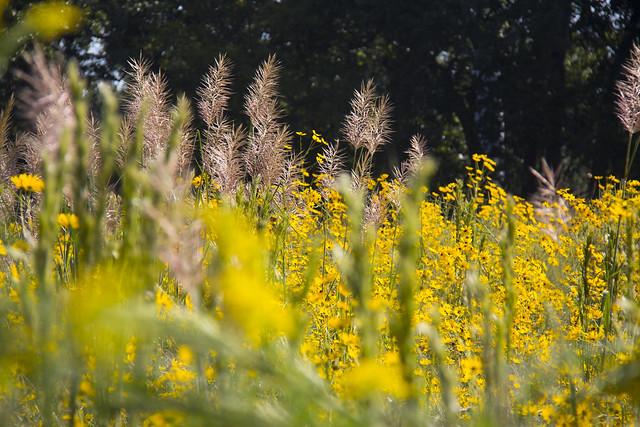 Swamp Sunflowers_31