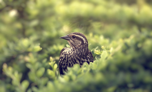 montreal nature spring fauna animal bird canon 100mm green light dof sunset life akigabo 7dwf