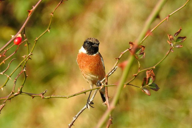 Stonechat, Oct 16 2017, WhitHollow (2)