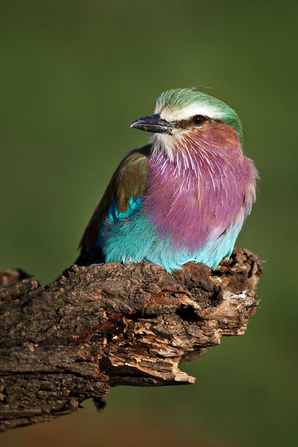 Next: Lilac-Breasted Roller