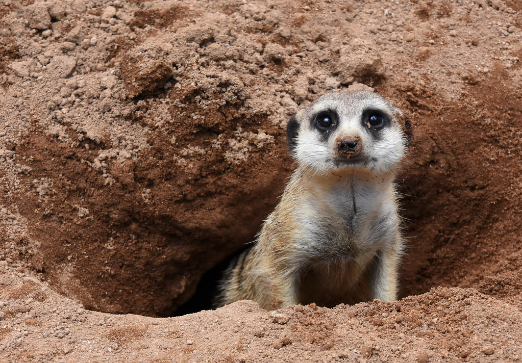 Image result for meerkat and tunnel