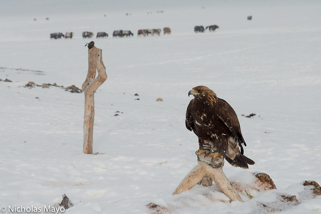 Golden Eagle On Its Perch