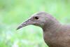Lord Howe Island Woodhen (Gallirallus sylvestris) by patrickkavanagh