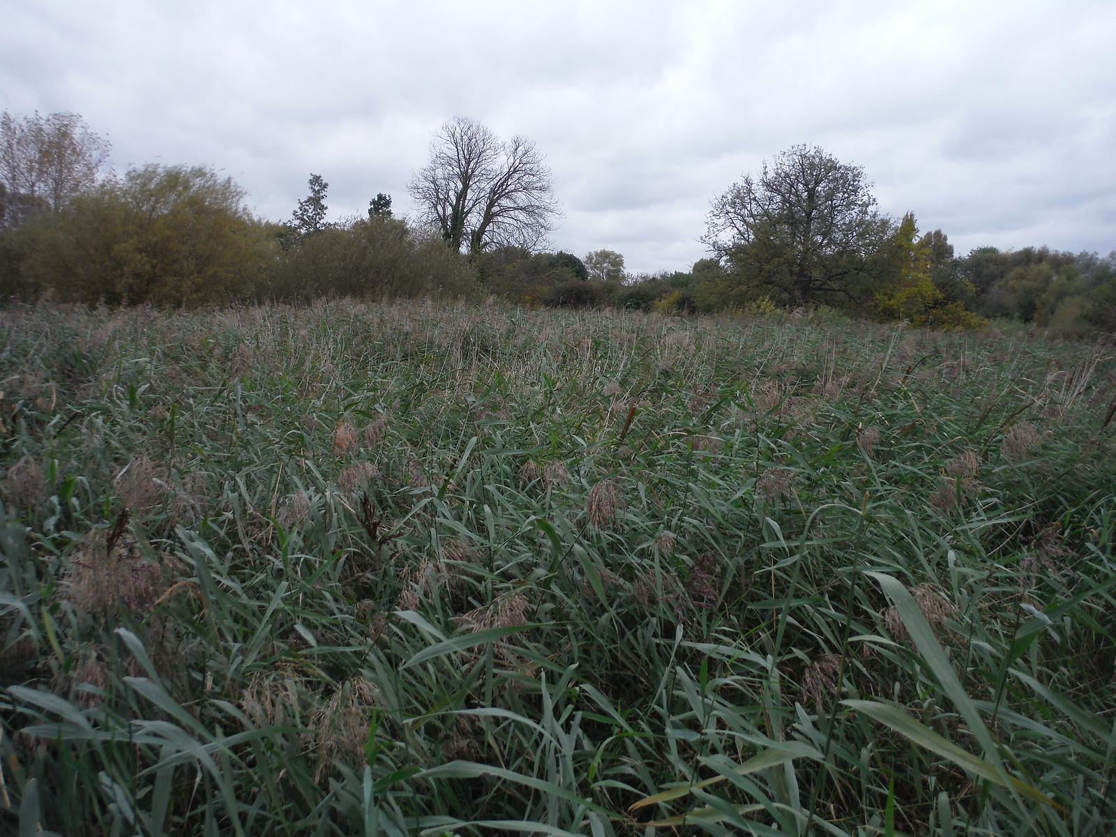 Reedbeds in Wetlands, Morden Hall Park SWC Walk Short 13 - Morden Hall Park and Merton Abbey Mills
