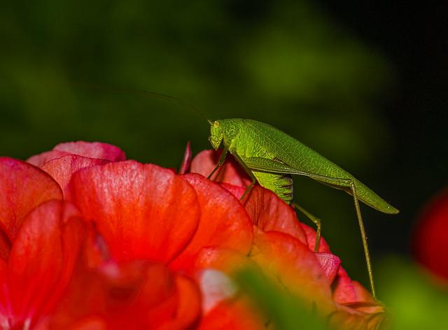 sickle-bearing bush-cricket