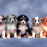 Abigail Price - Fluffy_Five_Shepherd_Puppies