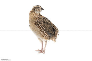 Japanese Quail Coturnix japonica | by neil.fisher