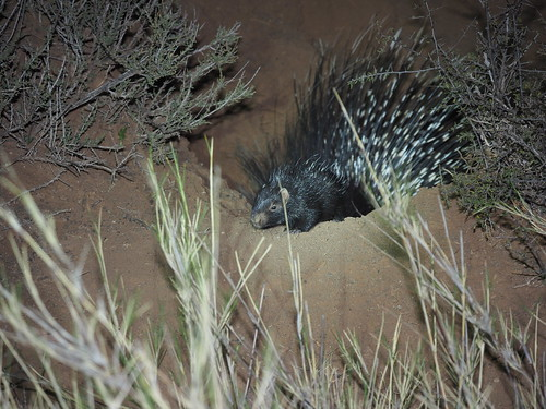 P9220382 Baby Cape Porcupine | by Joanna P Dale