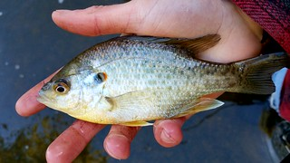 Redear Sunfish | by Isaac's Nature Corner