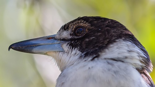 butcherbird face | by piggsyface