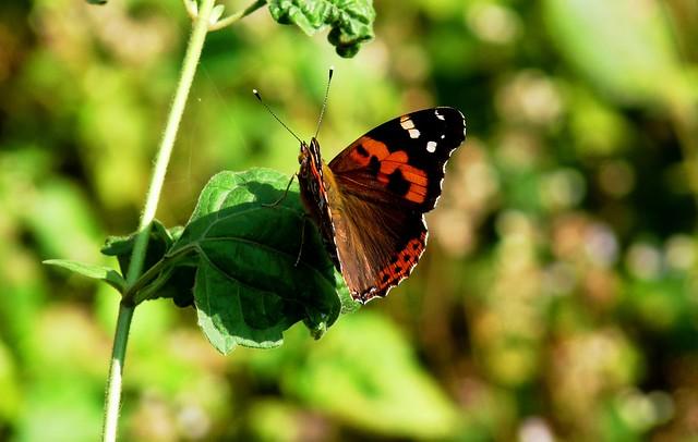 Himalayan Red Admiral - Buxa Tiger Reserve - Eastern Himalayas