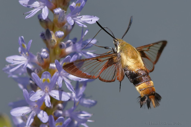 Snowberry Clearwing Moth probes for nectar