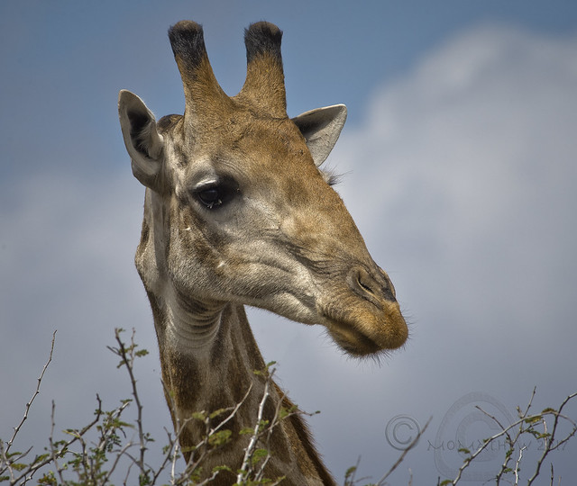 Southern Giraffe. EXPLORE 1 Nov 2017