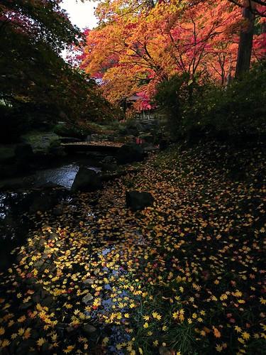 autumn autumncolours fall fallenleaves japanesemaple hachinohe aomori japan 紅葉 秋 モミジ もみじ