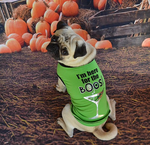 Found the perfect Halloween t-shirt for Mr. Boo Lefou!