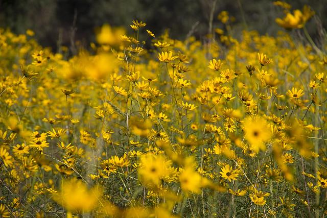 Swamp Sunflowers_46