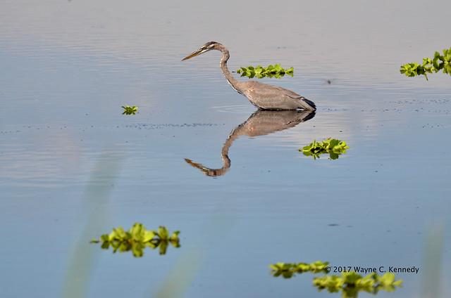Great Blue Heron Reflection Photo
