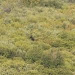 Bull Moose in Willow Flats