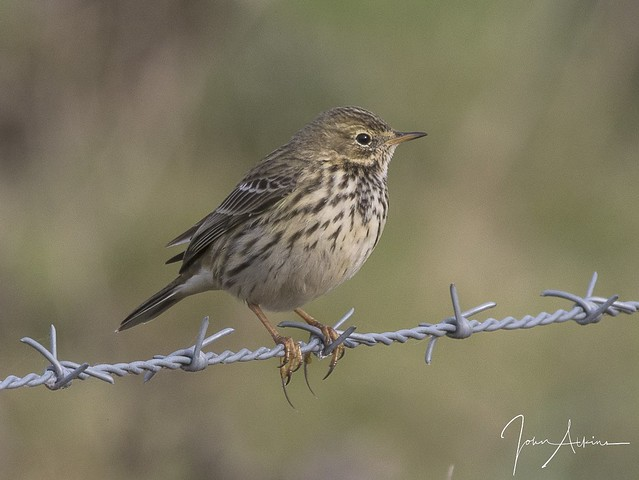 Meadow Pipit at Ferry Meadows 30/10/17.