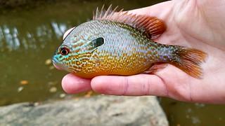 Longear Sunfish | by Isaac's Fishing Corner