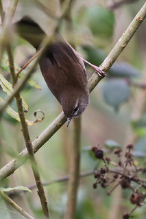 2017 10 24_Cetti's Warbler-1