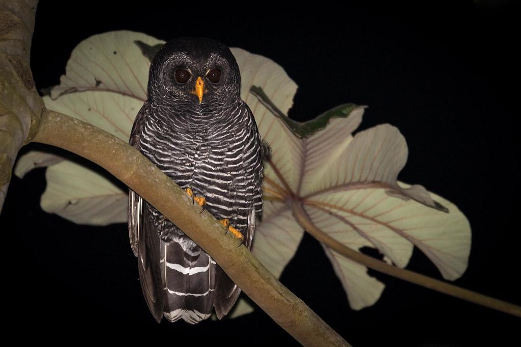 Coruja-preta - Black-banded Owl (Strix huhula)
