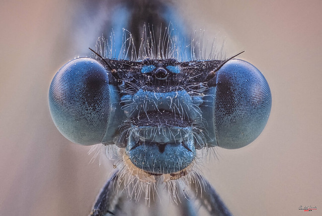 extreme macro damselfly field stack alive