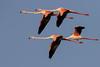 Flamingo foursome (Phoenicopterus roseus) פלמינגו מצוי by Ron Winkler nature