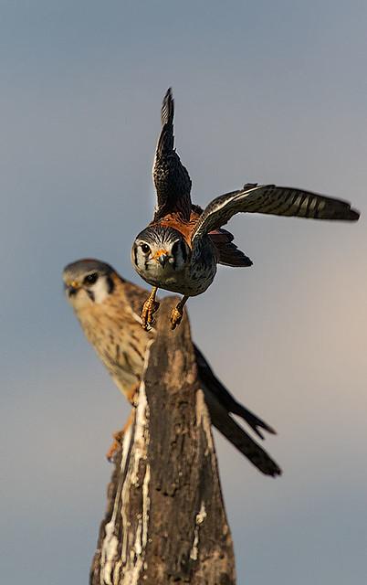 Quiriquiri (Falco sparverius) - American Kestrel