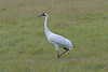 Whooping crane (Grus americana), by TG23-Birding in a Box