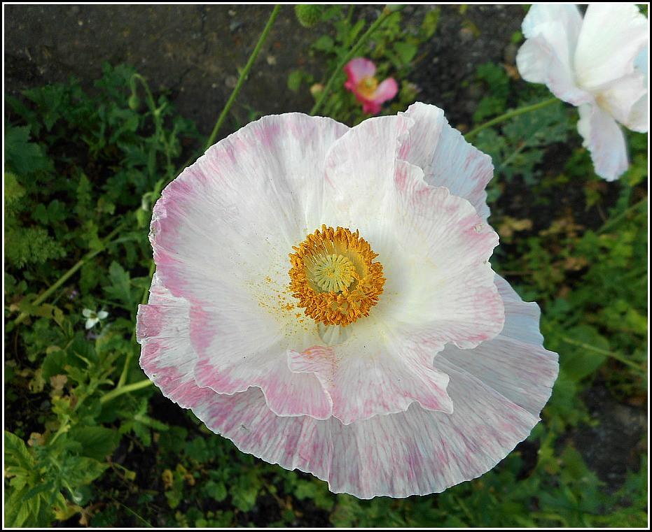 Lovely White Poppy ..