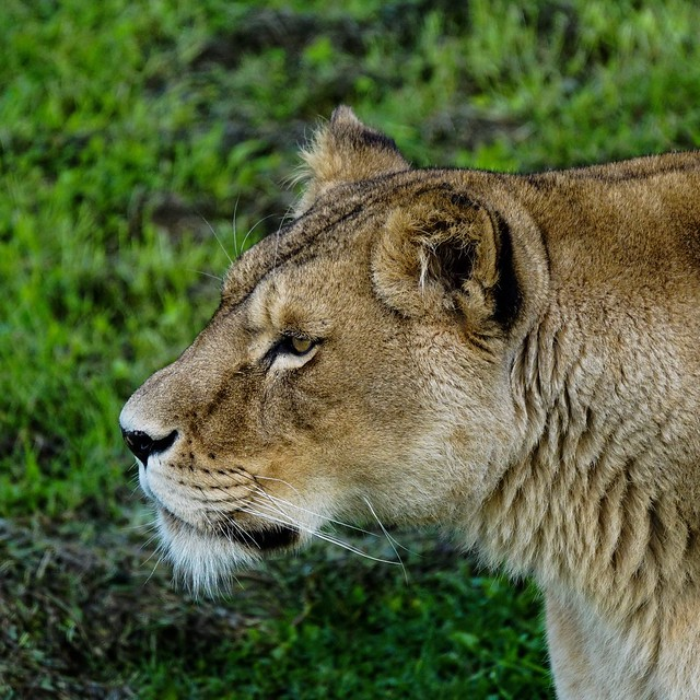 Moody looking Lioness YWP