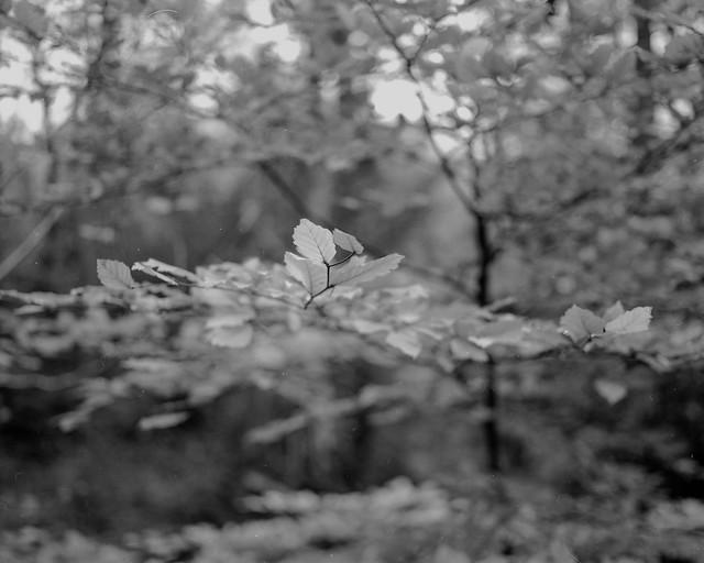 Beech Leaves (Hyons Wood)