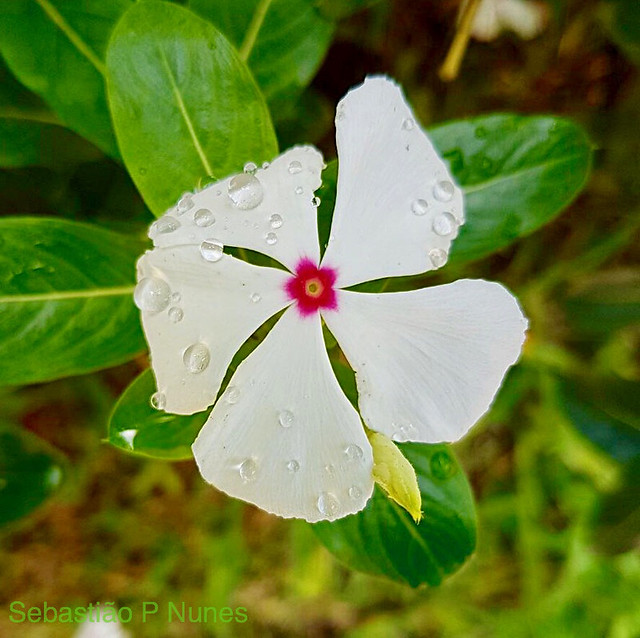 Vinca after the rain, Sheraton Gardens, El Salvador