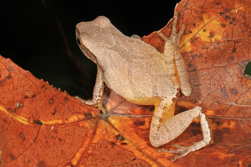 Spring Peeper - Pseudacris crucifer, Mason Neck, Virginia | by Judy Gallagher