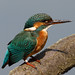 Female Kingfisher # 4