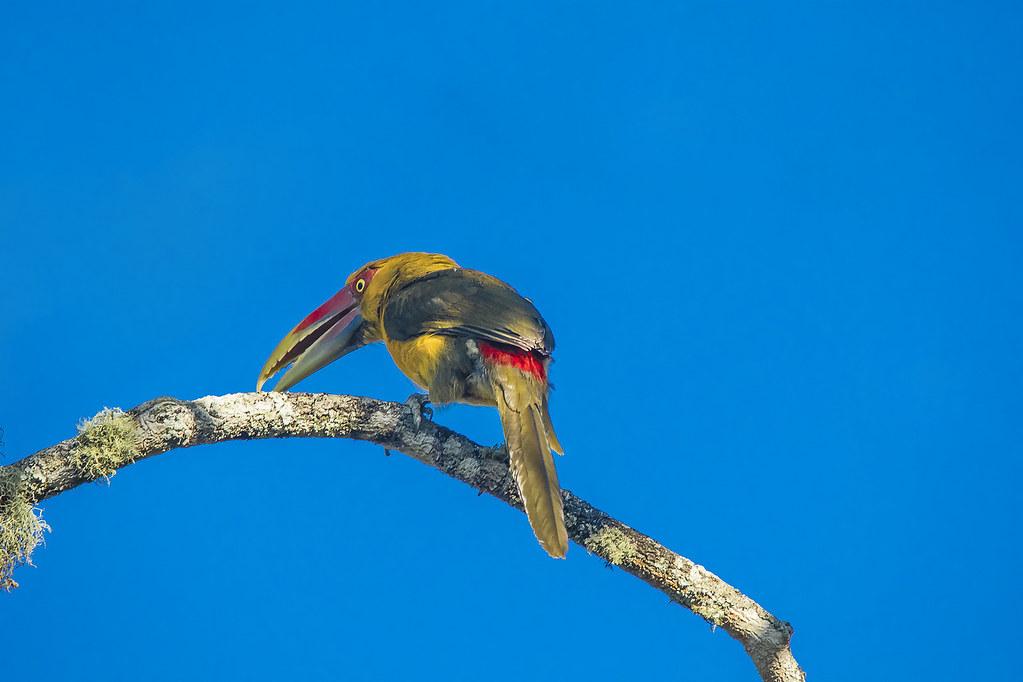 Araçari-banana - Pteroglossus bailloni - Saffron Toucanet.
