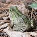 Flickr photo 'Rana clamitans (Green Frog)' by: Arthur Chapman.