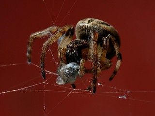 G-P-9-brown jumping spider wapping up it's next meal | by Dan Copeland Photography Hamilton Ontario
