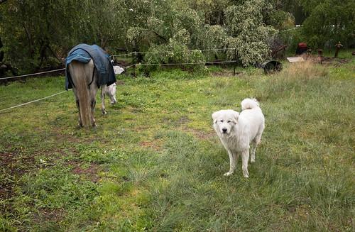 Iorek the Maremma sheep dog   by VirtualWolf