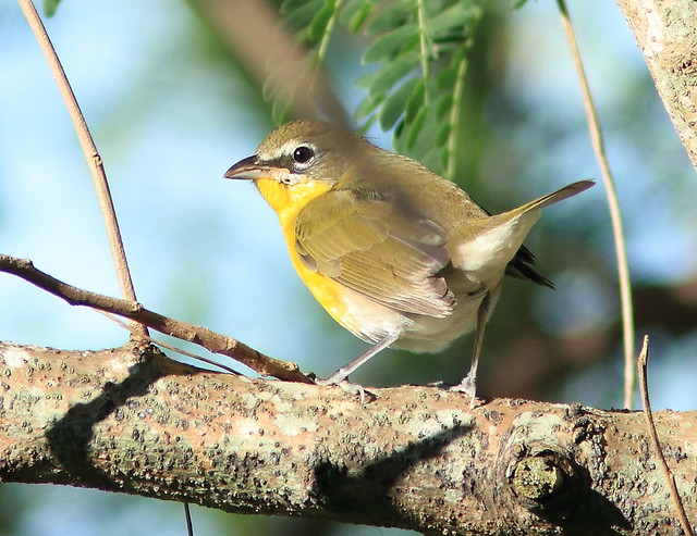 Yellow-breasted Chat 02-20171026